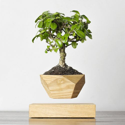 Леплант Wood Бонсай